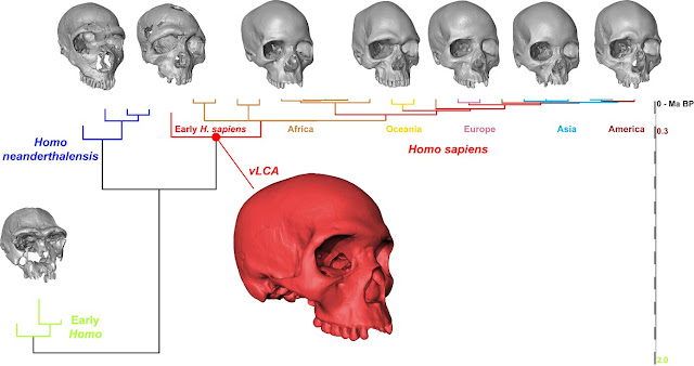 What the cranium of modern humans' ancestor would have looked like