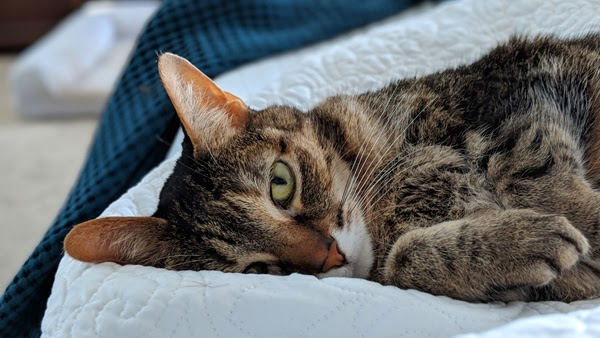 image of Sophie the Torbie Cat, lying in my bed on her side, looking at me