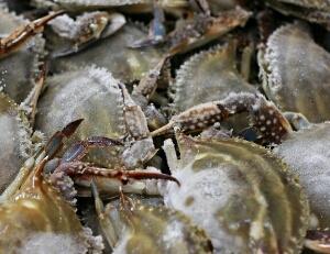 cara melihat ciri-ciri kepiting segar