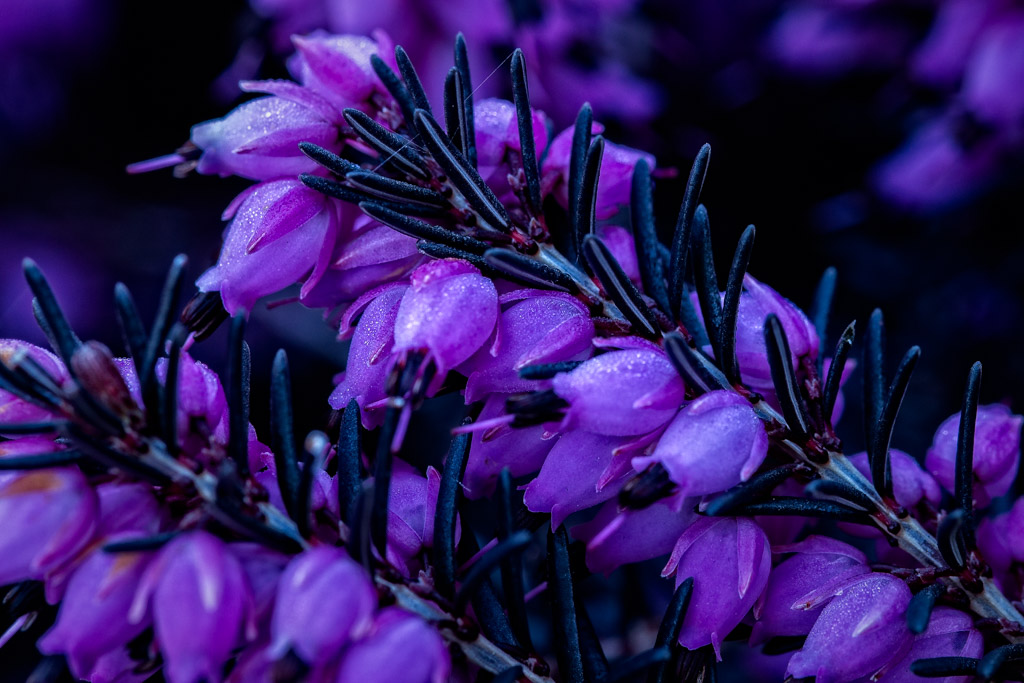 The ac is on spring flowers outdoors on saturday morning before the sun was high i ambled across the street to try some flower macros a neighbour has some pretty heather plants which i wanted mightylinksfo