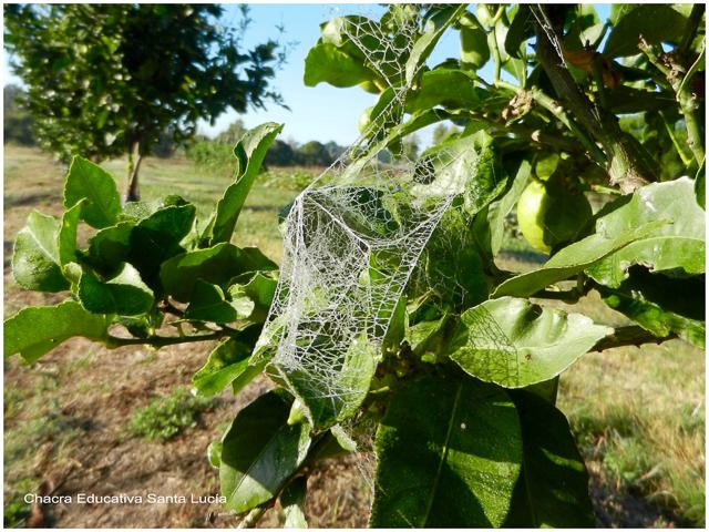 Tela de araña en el limonero - Chacra Educativa Santa Lucía