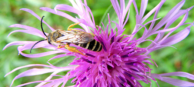 Male Great Banded Furrow Bee Halictus scabiosae on Greater Knapweed Centaurea scabiosa, Indre et Loire, France. Photo by Loire Valley Time Travel.