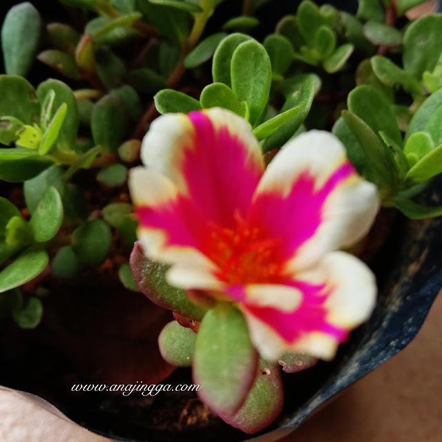 bunga ros jepun belang pink putih