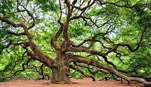 Pohon merupakan tumbuhan yang memiliki struktur dari pucuk, daun, ranting, dahan, batang serta akar dimana batang memiliki kekerasan tertentu. Pohon kadang-kadang juga memiliki buah, baik yang dapat dikonsumsi maupun tidak dapat dikonsumsi. Umumnya pohon memiliki batang utama tunggal sebagai penompang tajuk berdaun. Pengertian pohon menurut para ahli (terbaru) perlu dipahami sehingga dengan pengertian tersebut kita dapat membedakan antar pohon dengan tumbuhan lainnya yang juga memiliki batang.