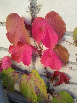 Weinlaub Herbst