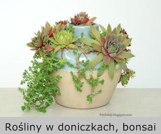 http://fotobabij.blogspot.com/2016/03/rosiny-doniczkowe-i-pojemnikowe-bonsai.html