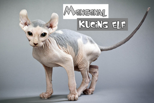 Kucing elf