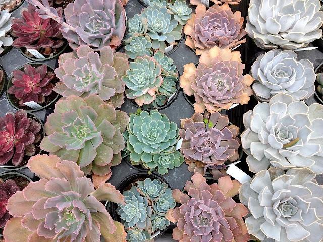 Bandeja de plantas suculentas