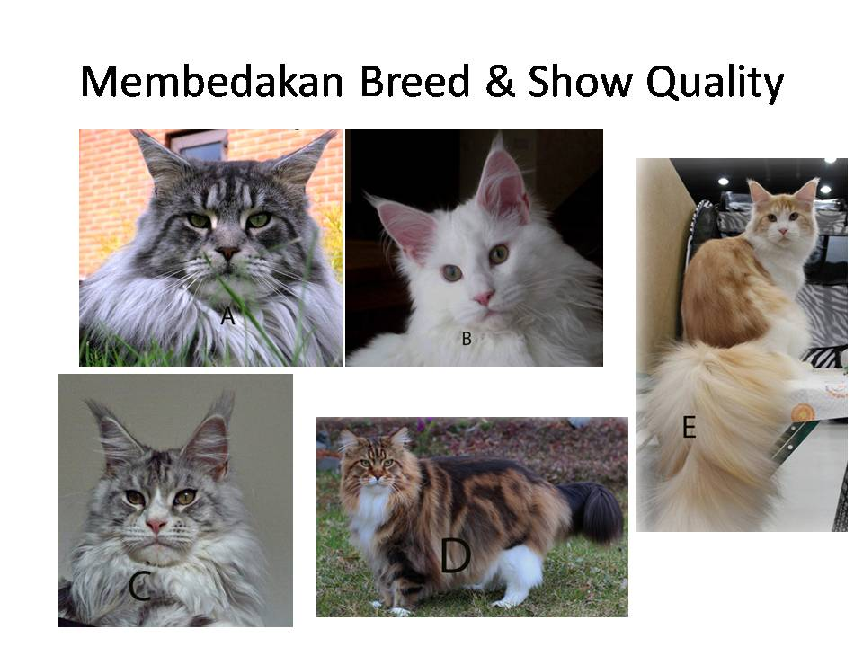 Sukses Beternak Kucing Ras Kumpulan Artikel Kucing Perawatan Kucing Harga Kucing Maine Coon Tergantung Pada Kualitas Kucing