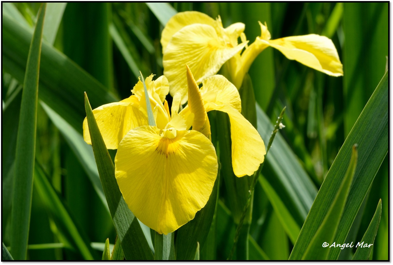 De Flores En La Montana: Flores Y Bichos ***: Iris Pseudacorus