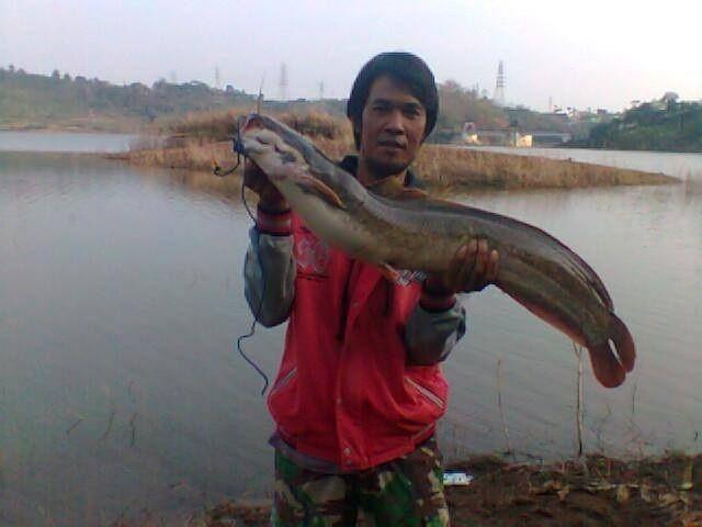 Umpan Ikan Lele Babon Paling Jitu Dan Mujarob