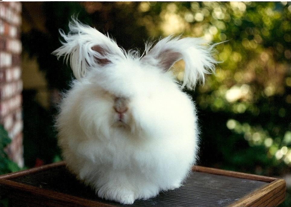 период цветения английский ангорский кролик фото граничит