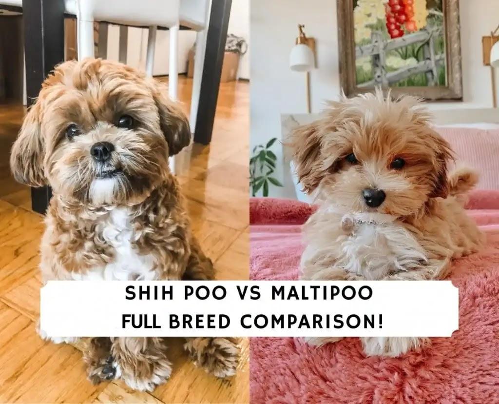 Shih Poo vs Maltipoo – Full Breed Comparison