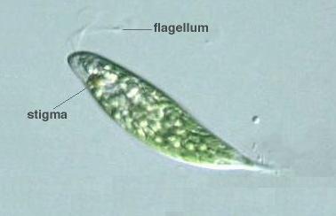 Duy's AP BIO Blog: Exemplars of Phyla of Protozoa