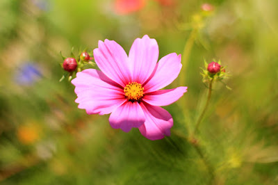 Pink Cosmo - Flower Photography by Mademoiselle Mermaid