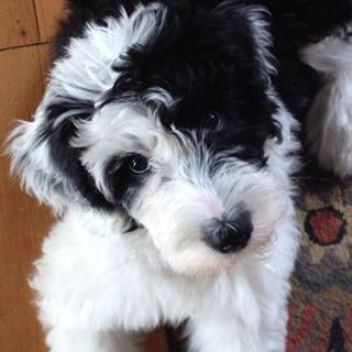 What is F1b sheepadoodle?