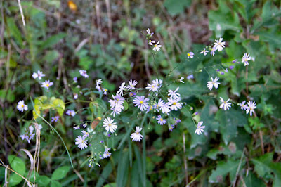 wild asters by the roadside