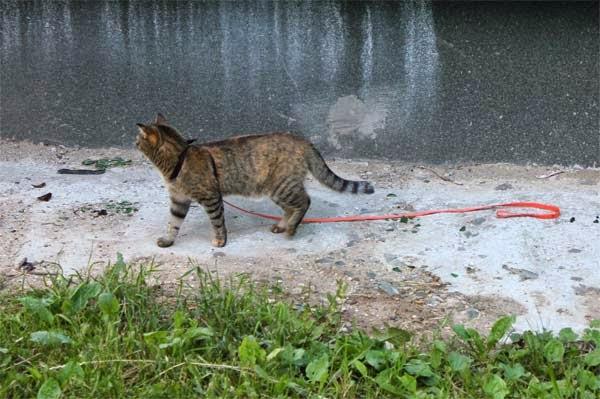 кошка убежала со шлейкой
