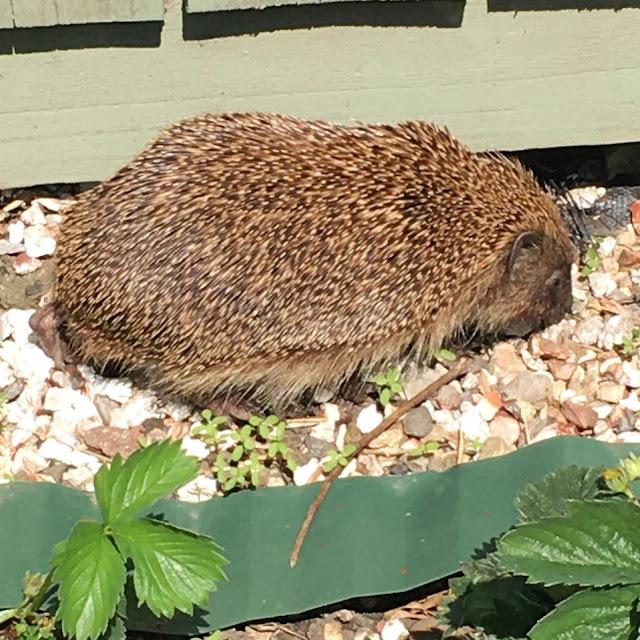 hedgehog newcastle uk garden