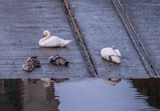 Photo of one swan staying awake while the others sleep on the marina slipway