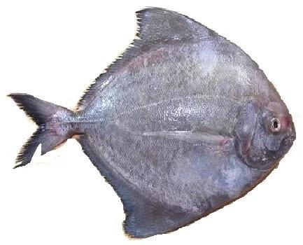 हलवा, Black Pomfret fish name in Marathi