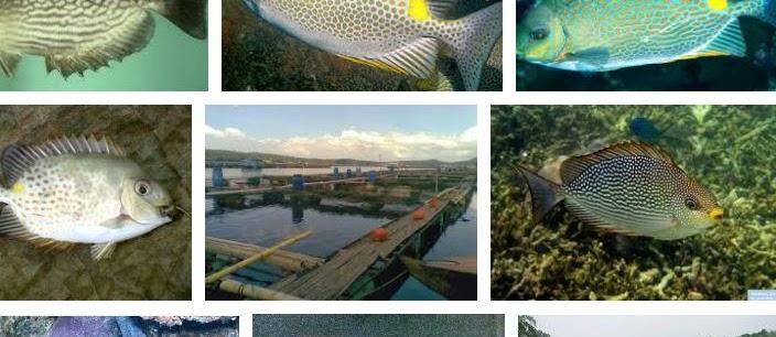Budidaya Ikan Baronang di KJA beserta Gambarnya