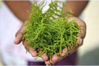 Mengetahui Manfaat Rumput Laut Untuk Kesehatan Ibu Hamil dan Janin