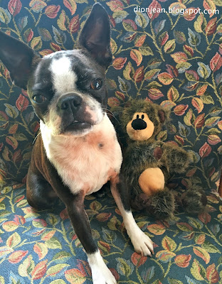 Sinead the Boston terrier and her BarkBox toy