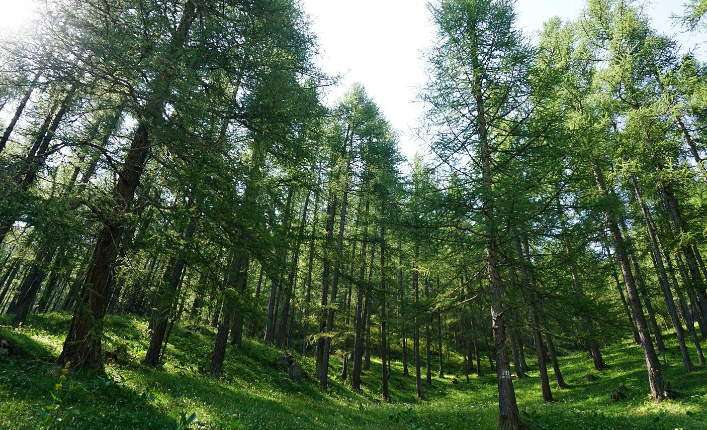 Magnificent larch forest before Crête de l'Echelle