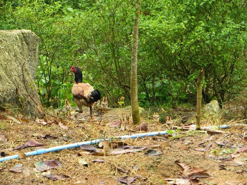 Курица и цеплята