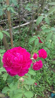 hồng leo tường vi