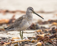 Long-billed Dowitcher – Morrow Strand State Beach – Oct. 28, 2008 – photo by Michael 'Mike' L. Baird