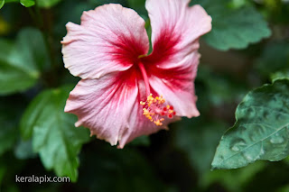 Pink Hibiscus,Shoe Flower in our home garden