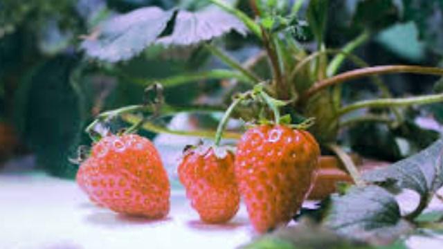 tanaman hidroponik stroberi