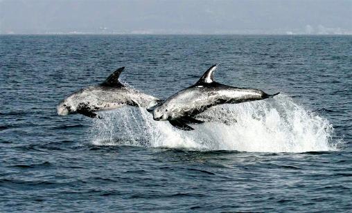 Rissos dolphin - photo#51