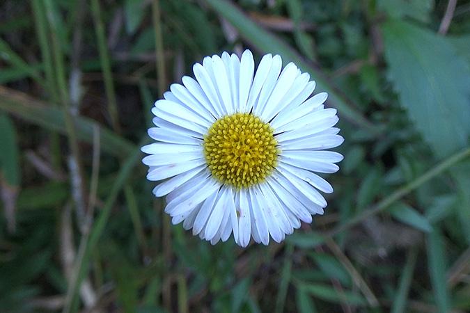 Dlium Santa Barbara daisy (Erigeron karvinskianus)