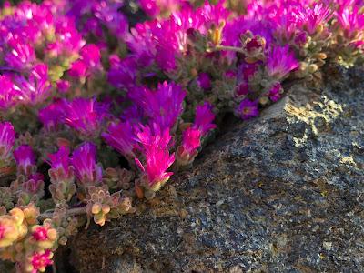 Mesembryanthemum hispidum