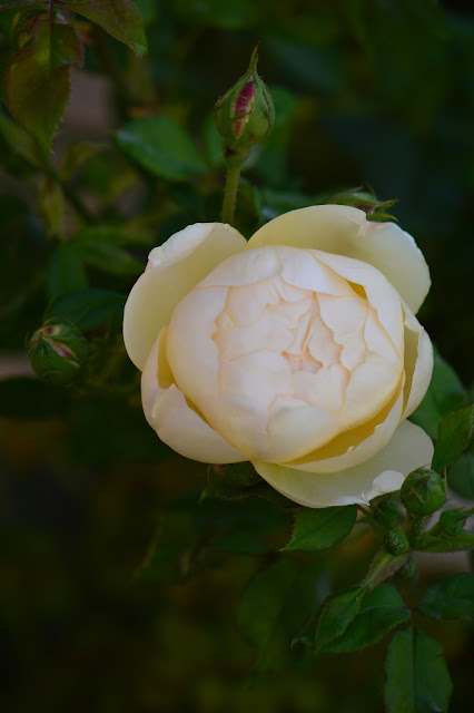 Wollerton Old Hall, david austin, rose, english rose, photography, desert garden, small sunny garden, amy myers, arizona garden