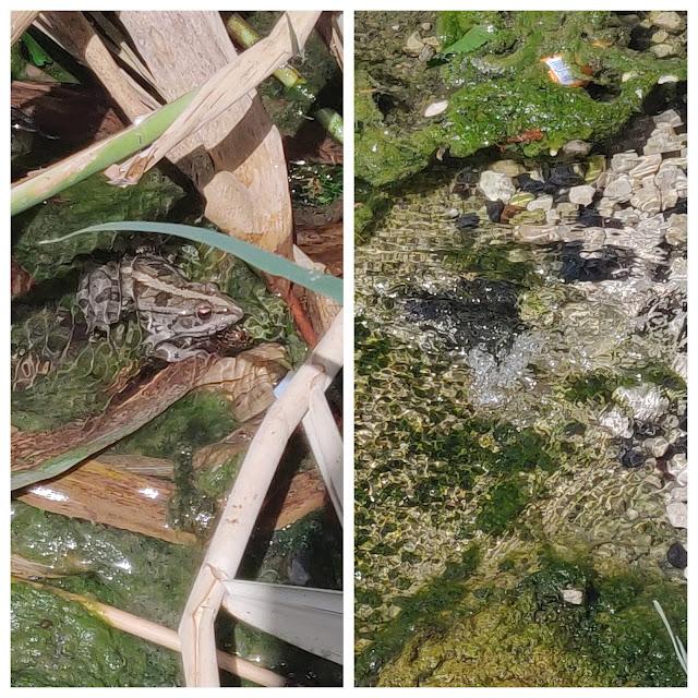 צפרדע במעיין