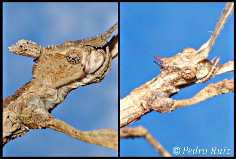 Detalle de la cabeza de una hembra y un macho de Onchestus rentzi