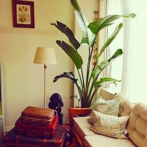 Mis notas del jard n rbol de banano como planta for Arbol interior
