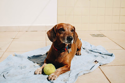 A brown dog lies on a towel outside with a tennis ball between his feet