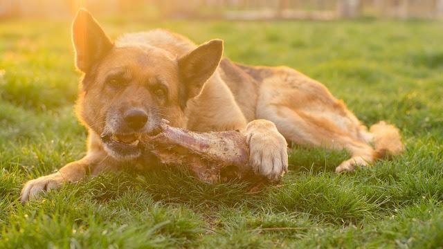 German Shepherd eating