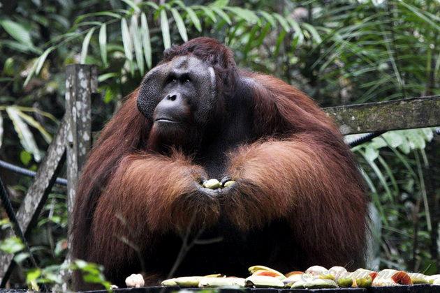 Semenggoh Tempat Dan Aktiviti Menarik di Kuching