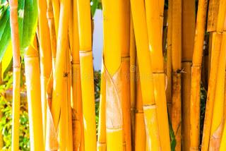 gambar bambu kuning