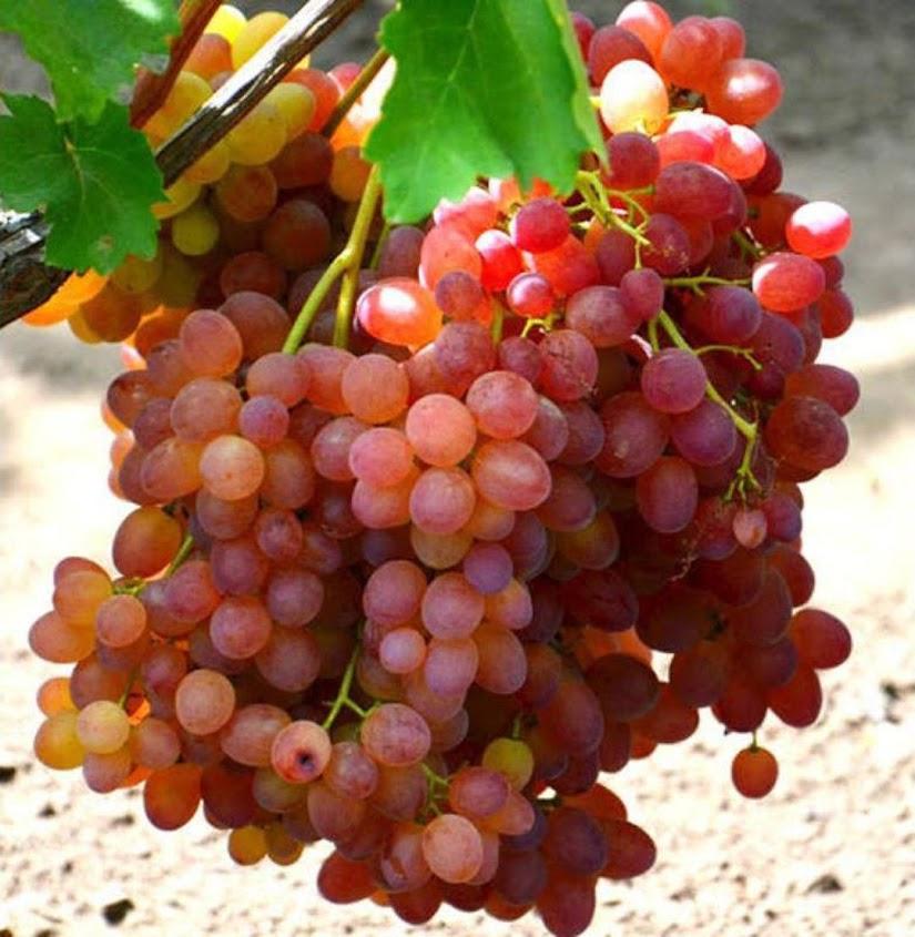 Bibit anggur import veles hasil grafting Padangpanjang