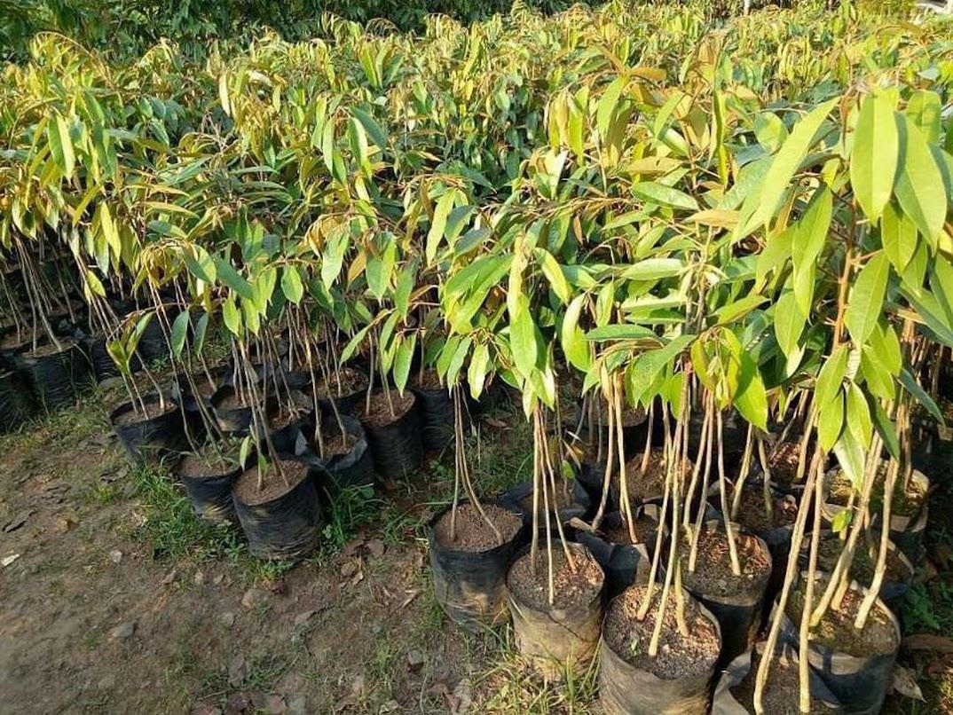 Bibit Durian Musangking Kaki Tiga Super Sumatra Barat