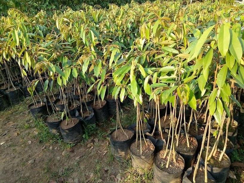 Bibit Durian Musangking Kaki Tiga Super Kendari