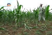Diserang Hama Tikus, Hektaran Tanaman Jagung Gagal Panen