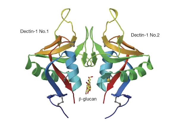 Two dectin‐1 monomers form a dimer into which a short β‐glucan binds.